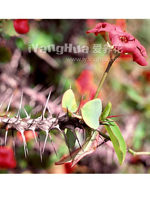 虎刺梅图片