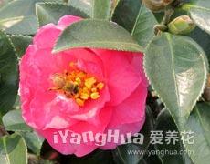 茶梅的种植手册