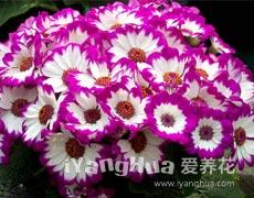 瓜叶菊的种植手册