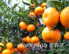 年橘的种植手册