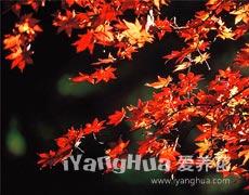 红枫的种植手册