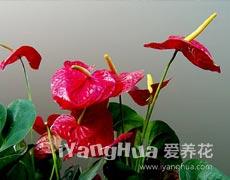 火鹤花的种植手册