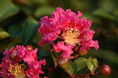 红叶乔木紫薇 最具投资种植的品种