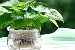 绿萝的风水寓意 绿萝装饰作用 绿萝净化空气作用