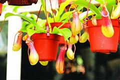 植物大战蚊虫 教你如何挑选驱蚊驱虫的绿植