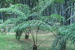 广西:德保苏铁种群健康成长并自然繁殖成功