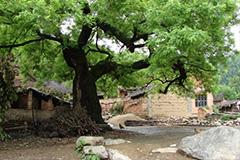陕西蓝田两村干部卖掉一棵千年古槐树获刑