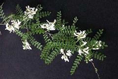 白刺花盆景的制作及养护