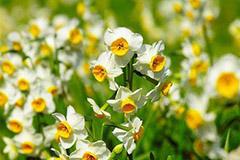 如何使水仙在春节开花