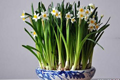 养好水仙花需要什么样的环境条件