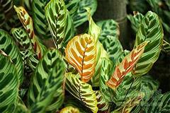 如何处理孔雀竹芋卷叶