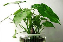 """专家称""""滴水观音""""不是致癌植物 市民可放心养"""