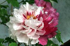 东北首届迎春牡丹花卉展将于2018年元旦在棋盘山举行