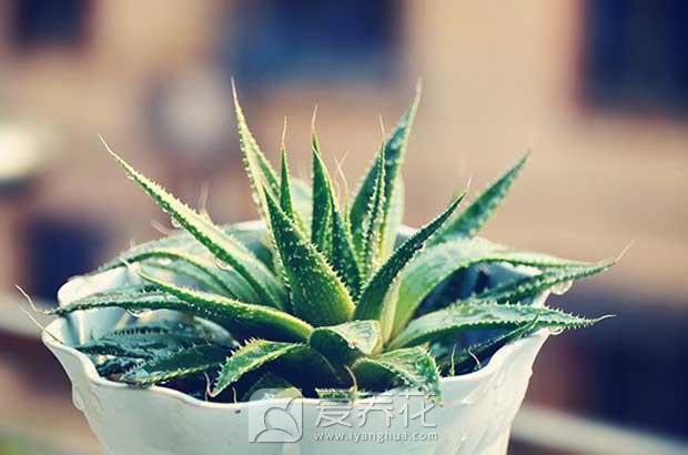 什么植物有助睡眠图片
