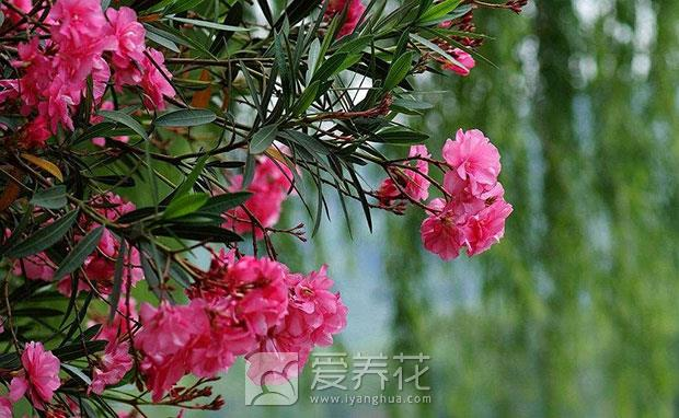哪些花有毒你知道吗图片