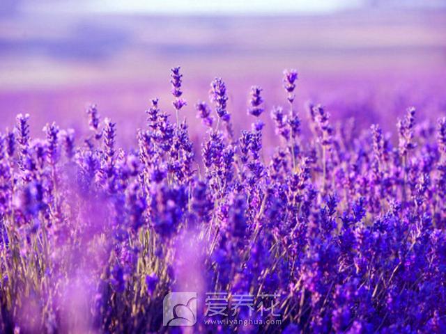 中国薰衣草之乡图片