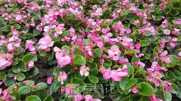 四季海棠图片