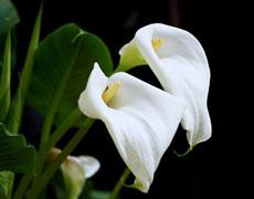 马蹄莲的种植手册