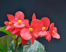 秋海棠的种植手册