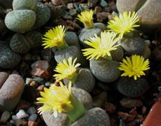 生石花的种植手册