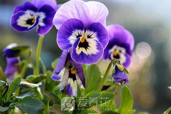 紫罗兰怎么养图片