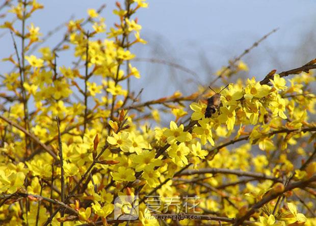 迎春花怎么养图片