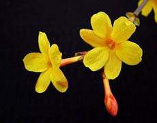 迎春花的种植手册