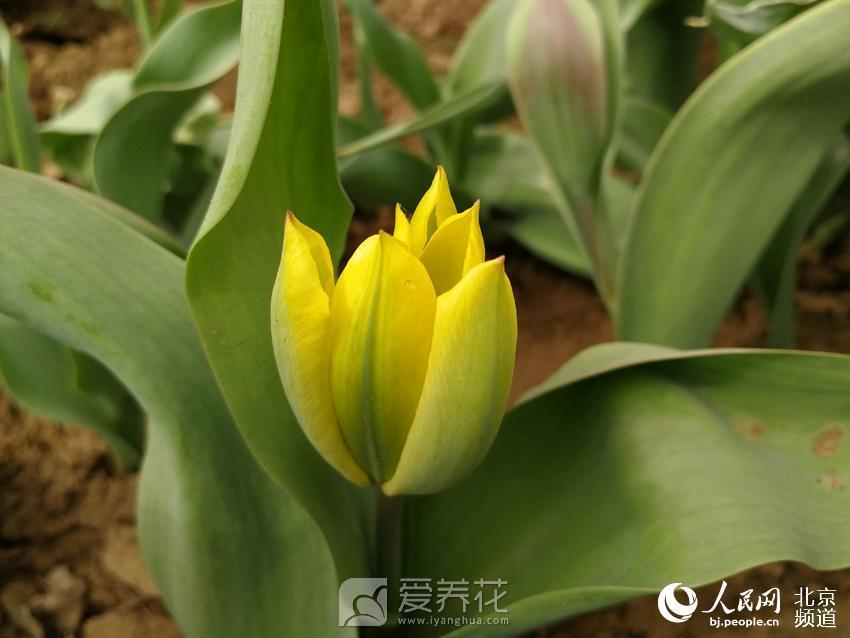 北京郁金香文化节图片