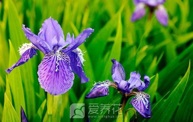 蝴蝶花鸢尾图片