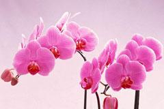 春节买回家的蝴蝶兰花谢后怎么处理?这样处理延长蝴蝶兰花期