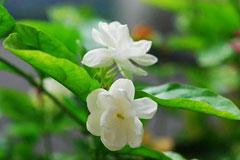 教会你轻松养茉莉花,怎样让黄叶又落叶的茉莉花重新生长