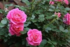 扦插总不生根怎么办?教你以月季为代表的花卉扦插最简单方法
