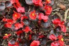6种红色系的花卉最适合现在还偏冷的初春,花期久观赏周期长