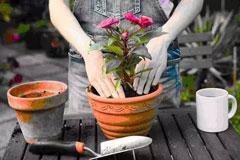 细数养花翻盆的最佳时机和翻盆的正确方法