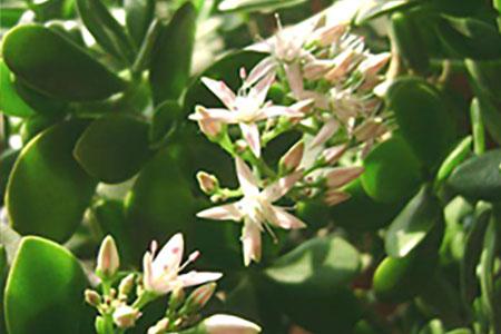 玻璃翠的养殖方法和繁殖方式有哪些?
