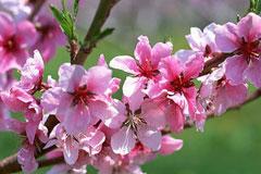 春暖繁花似锦,梅花桃花杏花梨花樱花李花,这些花你分得清吗?