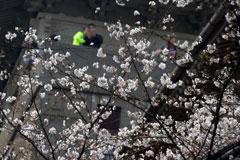 """武汉大学樱花节成""""樱花劫"""",黄牛抢票、人造樱花雨,就不能好好的赏花吗?"""
