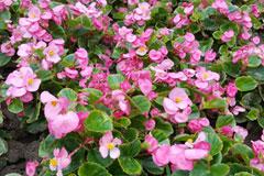 四季海棠的养殖方法以及如何采收四季海棠的种子