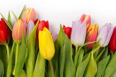 郁金香的种植方法 郁金香开花后怎么处理
