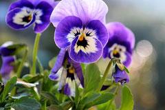 紫罗兰怎么养?紫罗兰怎样采用叶插繁殖?紫罗兰的种类有哪些?