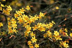 迎春花怎么养?迎春花盆景的制作要点是什么?