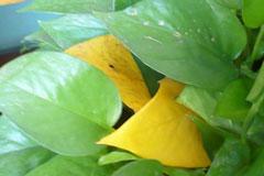 绿萝叶子发黄怎么办 8个原因帮你分析和解决绿萝叶黄问题