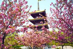 武汉即将进入樱花季 三月中旬是樱花最佳的观赏期