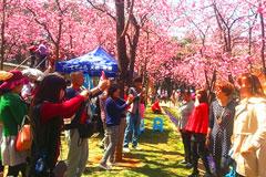 第十九届昆明动物园樱花节盛大开幕