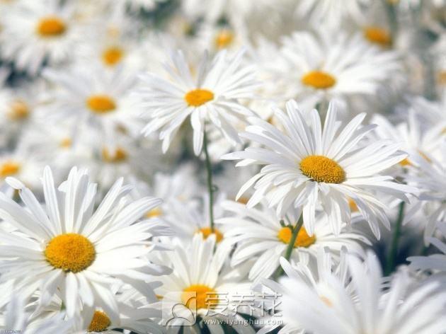 白菊花图片