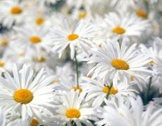 菊花的种植手册