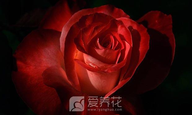 玫瑰花用什么土壤图片