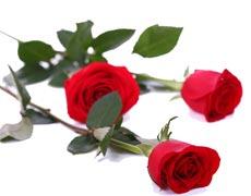 玫瑰的种植手册