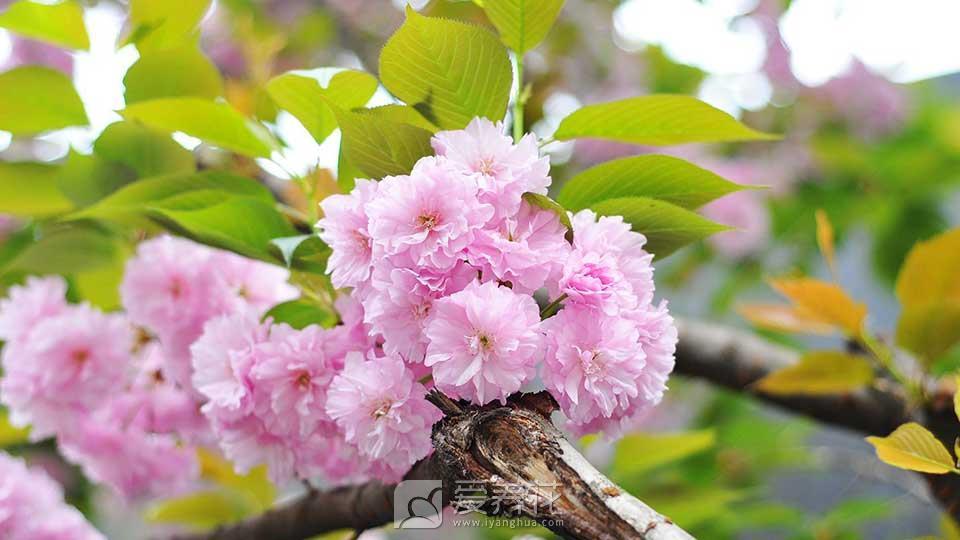关山樱(樱花)