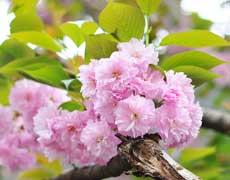 樱花的种植手册